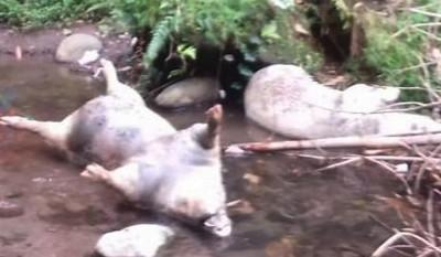 Keresahan Warga Terjawab, Bangkai Babi dalam Sungai Dari Kandang Ternak Jogonalan, Warga; Usut
