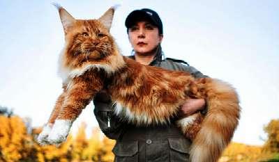 Belum Ada Kepastian Sejak Kapan Kucing Raksasa Ini Mulai Dipelihara