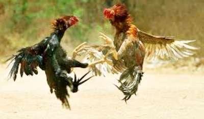 Sabung Ayam, Senjata Pisau Taji Makan Tuan Hingga Tewas