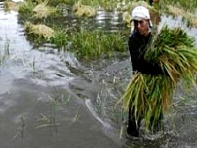 air-laut-meluap-ribuan-hektar-sawah-terendam