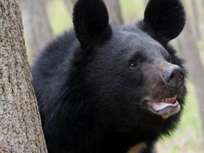 beruang-madu-ini-mengamuk-di-siak